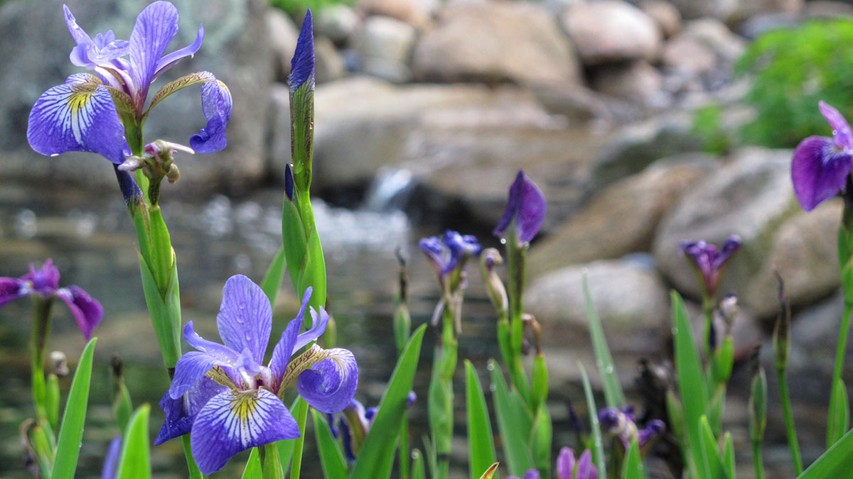 Our Native Iris versicolor Sits at the Edge of the Pond